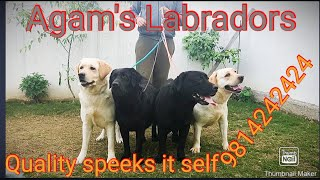 Itane Sare Labradors|| difference between Mastiff Labrador and Show Labrador||Quality Labrador||