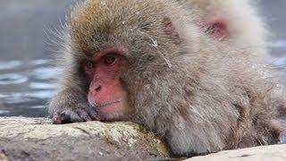 世界で唯一温泉に入るサルがいる地獄谷野猿公苑に行ってきました。たく...