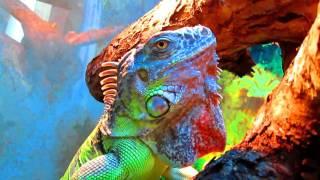 New home to iguana / Новый дом для игуаны