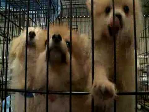 550 dogs rescued from Kaufman, Texas puppy mill