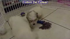 Coton De Tulear, Puppies, Dogs, For Sale, In Jacksonville, Florida, FL, 19Breeders, Orlando