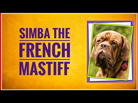 French Mastiff : The Rebel Of Dog Breeds | Imported Dogs Breeding & Care | HYD Pet Entertainment