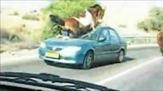 Такое Редко Увидишь! Случаи с Животными на Дороге Снятые на Камеру