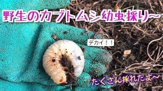 広島県竹原市の某場所にカブトムシの幼虫を採りに行ってきました。 意外...