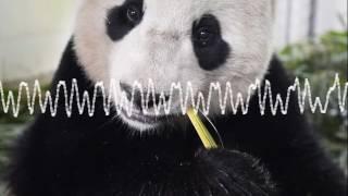 Bao Bao, panda star de retour en Chine