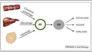 Intermittent Fasting, Autophagy & Insulin Resistance
