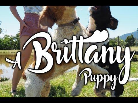 We Got a Brittany Puppy!