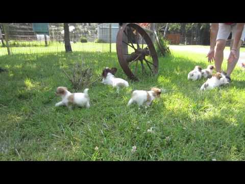 Papichon Puppies from Bender Farm, Hillsboro MO
