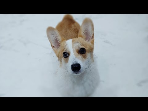 there-is-a-beaver-living-in-my-house-🐶-beaver-welsh-corgi