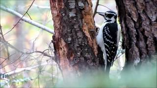 Female Hairy Woodpecker on Wild Black Cherry Tree