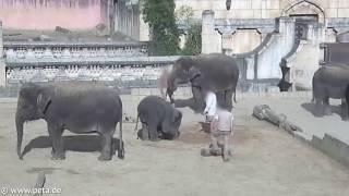 Жестокое обращение со слонами