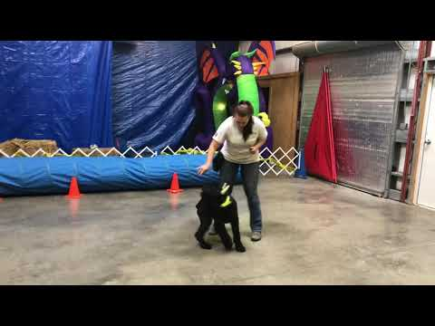 """Giant Schnauzer """"Ty"""" 5 Mo's Obedience/Protection Training Super Dog Candidate For Sale"""