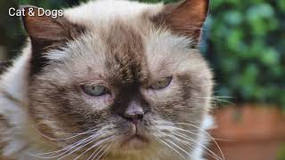 British Shorthair Cat Breeds | Types of Cats |