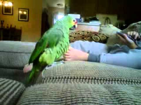 Amazon Parrot Mating On My Son's Foot