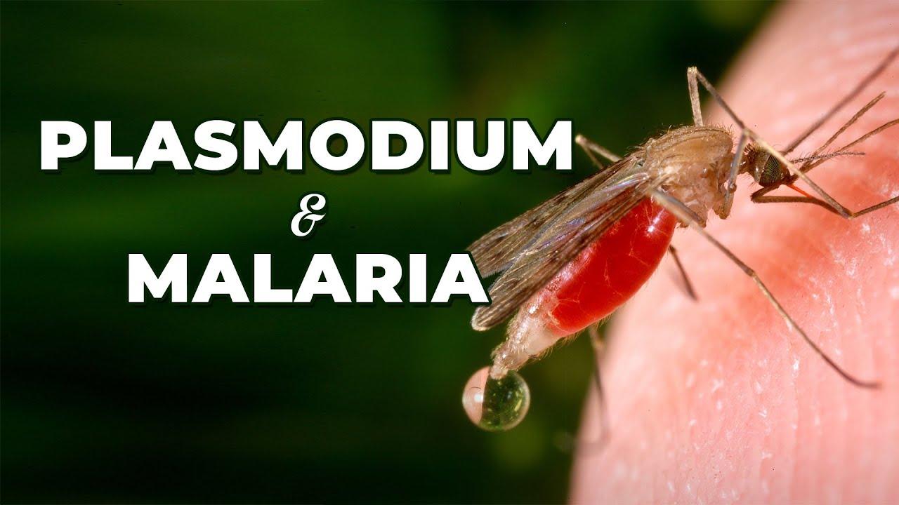 a malária plazmodium szaporodását végzik