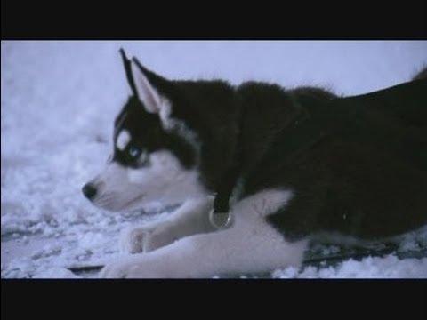 10 pelculas de Husky Siberiano  YouTube
