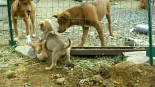 屋久島で生まれた、屋久犬(生後48日)元気よく兄弟でジャレあっています。