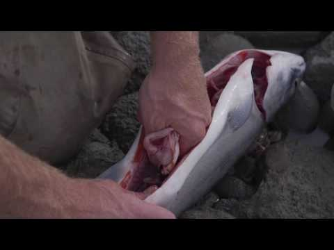 How To Gut And Gill A Fish | Captain Quinn