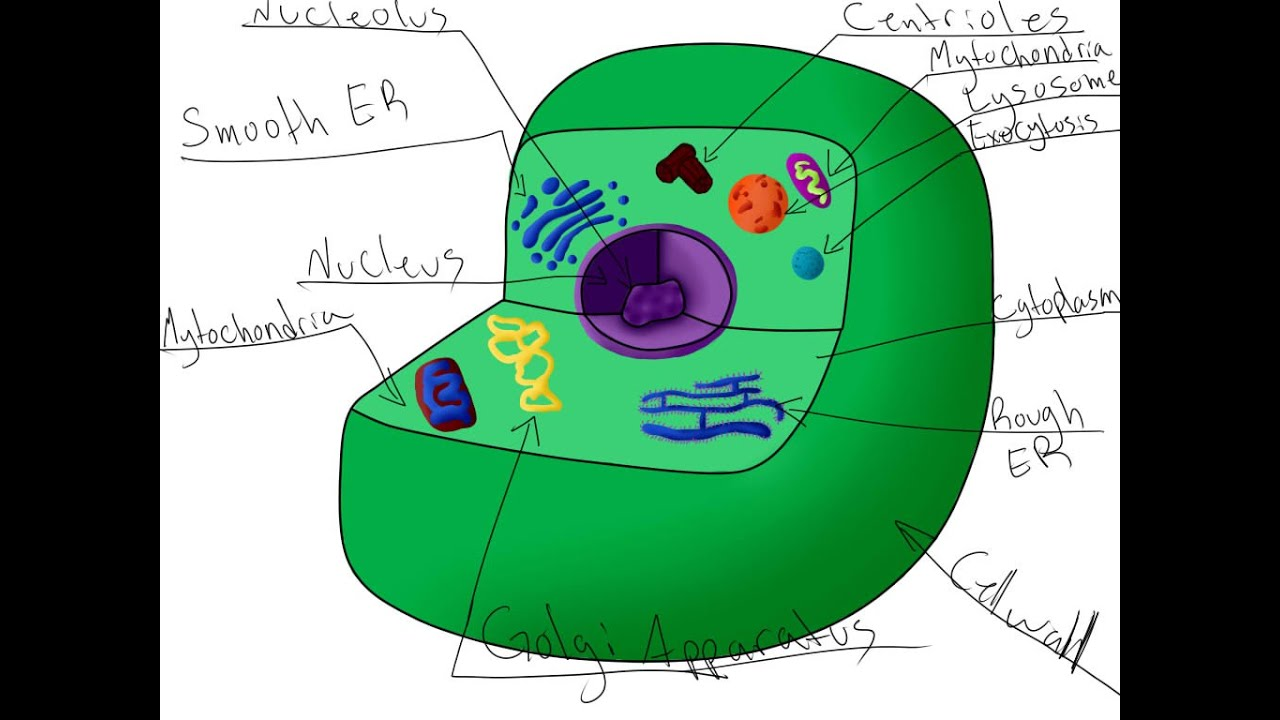 making the plant cell speed paint meant for school youtube rh youtube com What Part of the Animal and Plant in Common Cell Have Cell Diagrsm Plant Cell