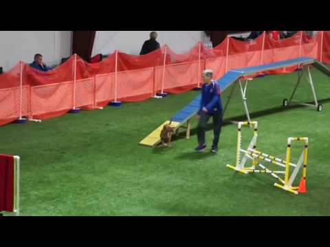 Irish Terrier Agility Harper 2016 1030