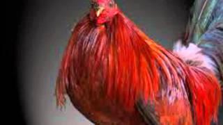 Las 5 mejores rasas de gallos