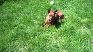 Meet Henry A Miniature Pinscher Currently Available For Adoption At Petango.com! 7/25/2014 4:20:18 P