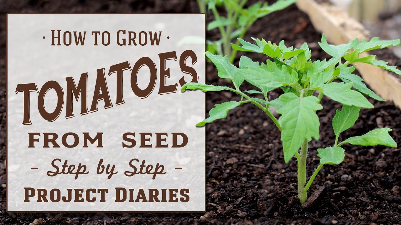 How To Grow Tomatoes From Seed A Complete Step By Guide