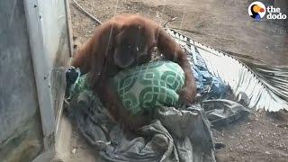 Orangutan Stuck In Zoo Just Wants A Soft Place To Sleep