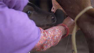 Newborn calf drinking milk from the mother cow in a village of India