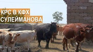 Крупный рогатый скот в КФХ Сулейманова. Крым