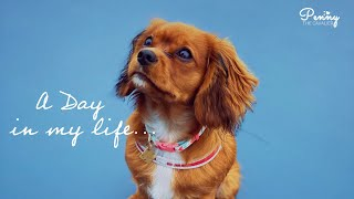A Day In The Life of Penny | Cavalier King Charles Spaniel Puppy | Daily Routine of Penny [4K]