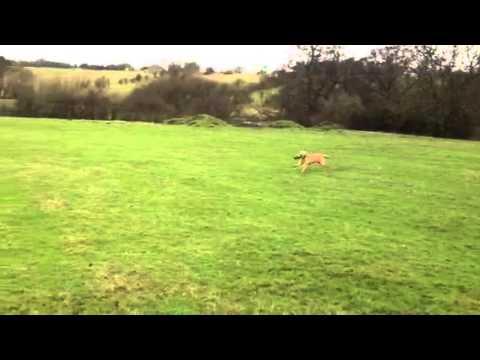 Gundog training: Labrador retrieving to hand past dummies placed on the ground.