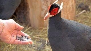 Синий ушастый фазан в питомнике ДонЗоо