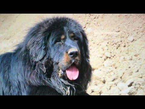 Tibetan Mastiff Protective Nature /Best Guard Dogs