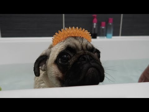 Pug puppy full bath!