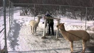 Clicker Training:  Alpaca Tunnel-Lesson 3