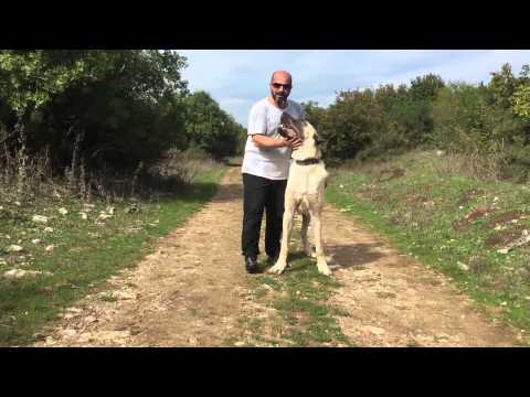 World Tallest Turkısh shepherd dog 10 month 96 cm