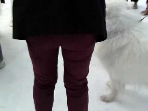 股間が好きなサモエド犬