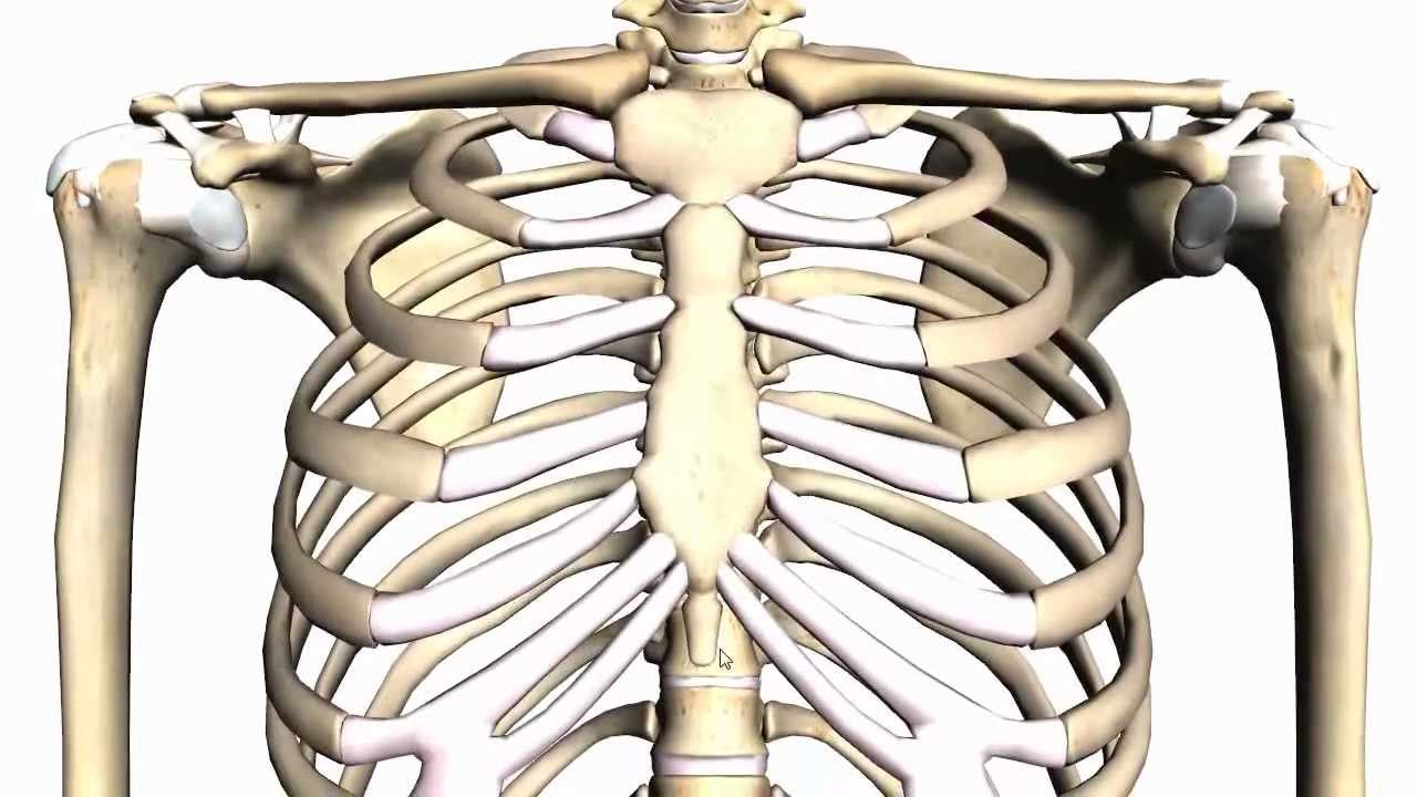 General Skeleton Basic Tutorial Anatomy Tutorial Youtube