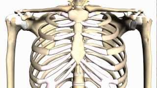General Skeleton Basic Tutorial - Anatomy Tutorial