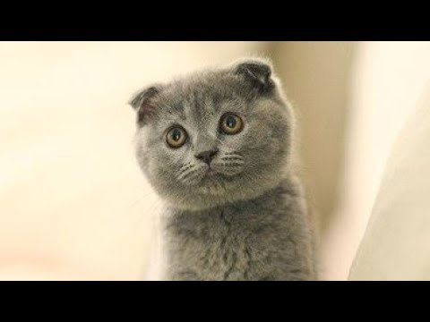 Scottish Fold Cat Meowing Feel So Good