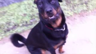 Dexter The Rescued Rottweiler  Heelwork Practise/training.