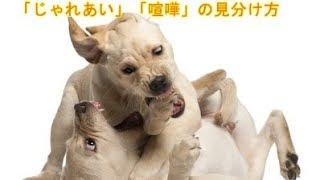 【関連動画】 じゃれあいからケンカへ https://www.youtube.com/watch?v...