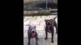 George Like Balls ; Blue Staffordshire Bull Terrier Cross Pitbull Playing Fighting