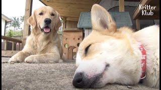 Welsh Corgi Dog Contratou Retriever Dog Como Babá de Seus Filhotes ?! (Parte 1) | Kritter Klub