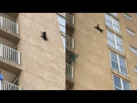 Daredevil Raccoon Scales 9 Floors of New Jersey Building