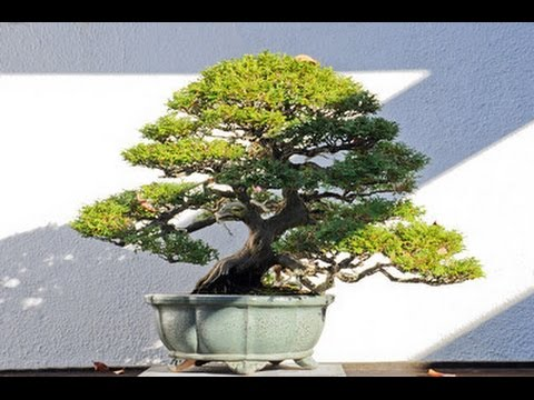chamaecyparis obtusa nana dwarf hinoki cypress youtube rh youtube com Oldest Bonsai in the World Wisteria Bonsai