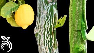 레몬 나무 접목하기 – 티자 눈접으로 나무 접목하기