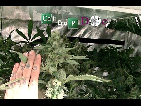 Grow Tent Yield report 8x8 Gorilla grow tent ep 2 with 4-600w hps / 48 plants set it and forget it!