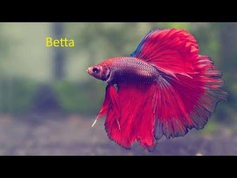 Top 10 Popular Freshwater Aquarium Fish For Beginners